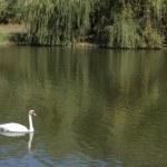 White swan at lake — Stock Photo
