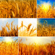 Stock Photo: Wheat.Harvest concepts.Cereal collage