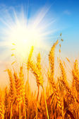 Wheat field and blue sky with sun — Stock Photo