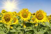 Girassol com céu azul e sol lindo — Foto Stock
