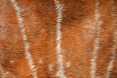 Texture of real axis deer fur — Stock Photo