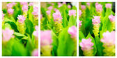 Field of pink siam tulip flowers in garden — Stock Photo