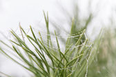 Dewdrops on pine — Stock Photo