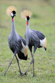 Grey-Crowned Cranes — Stock Photo