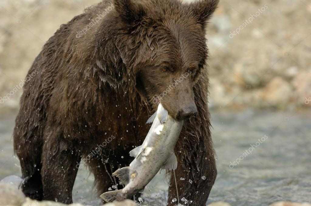 Grizzly Bear catching salmon.  Stock Photo #12236281