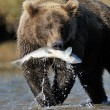 Grizzly Bear — Stockfoto