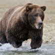 Grizzly Bear — Stockfoto #12491697