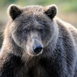Grizzly Bear — Stockfoto #12491852