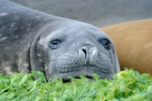 Elephant Seal — Foto Stock
