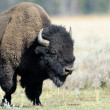 Stock Photo: Buffalo