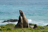 Elephant Seal — Stockfoto