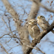 Stock Photo: Spotted Owl