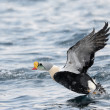 King Eider — Stock Photo