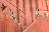 Hanuman Langur — Stock Photo