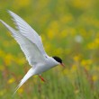 Arctic Tern — Stock Photo #20721375