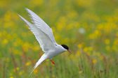 Arctic Tern — Stock Photo