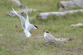 Arctic Tern — Stock Photo