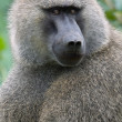 Stock Photo: Olice baboon