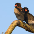 Stock Photo: Bateleur