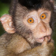 Stock Photo: Pig-tailed Macaque