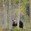 Stock Photo: Europebrown Bear