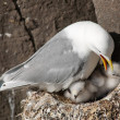 Kittiwake — Stock Photo