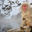 Japanese Macaque — Stock Photo #26981893