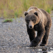 Grizzly Bear — Stock Photo #26983193