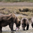 Grizzly Bear — Stock Photo #26983235