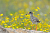Redshank in flowers — Stock Photo