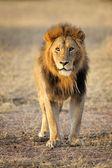 Lion facing camera — Stock Photo
