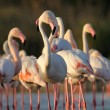 Greater Flamingo — Stock Photo #27127299