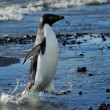 Stock Photo: Adelie Penguins