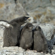 Adeliepinguine — Stockfoto