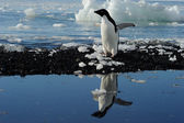 Adelie Penguins — Stock Photo