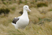 Southern Royal Albatross — Stock Photo