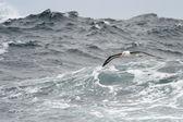 Black browed Albatross — Stock Photo