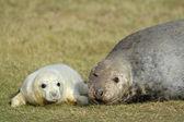 Grey Seal on beach — Stock Photo