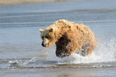 Grizzly Bear fishing — Stock fotografie