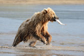 Grizzly Bear dishing — Stockfoto