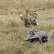 Lioness chasing Warthog — Stock Photo #29841663