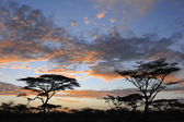 Acacia's in sunset — Stock Photo