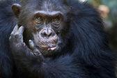Chimpanzee portrait — Stock Photo