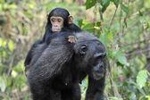Chimpanzee with baby — Stock Photo