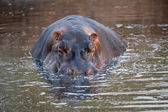 Hippopotamus close-up — Stock Photo