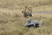 Lioness chasing Warthog — Stock Photo
