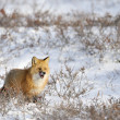 Red Fox — Foto de Stock