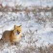 Red Fox — Foto Stock