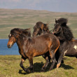 Icelandic Horses — Stock Photo #31361543