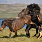 Icelandic Horses — Stock Photo #31362551